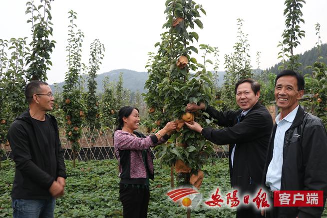上庄村文利果园的晚秋黄梨熟了.png