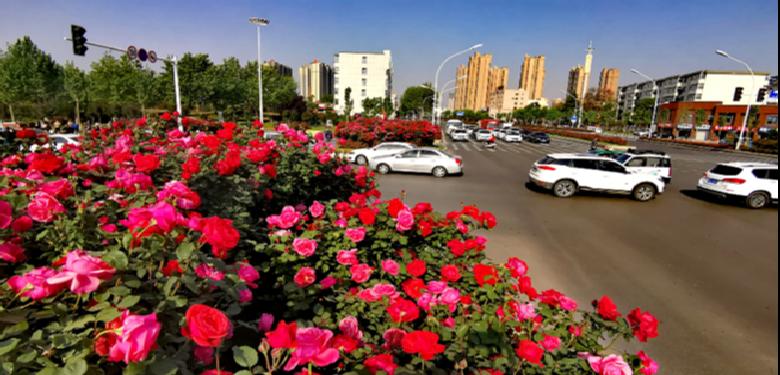 创建全国文明城市|月季花开满城艳
